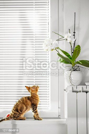 Playful Devon Rex Kitten Wants to Play with Houseplants on Window Sill