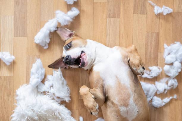 Playful dog among torn pieces of a pillow on the floor top view picture id1142271568?b=1&k=6&m=1142271568&s=612x612&w=0&h= g7dgsx7ewwef1giwucjw vbwi626msgdrxremy6o8g=
