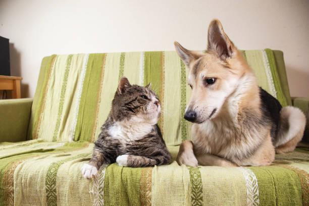 Playful dog and cat on sofa at home picture id1266463609?b=1&k=6&m=1266463609&s=612x612&w=0&h=wcjh0aj98rgvdim7lzrgakaduifgw5fj2b26u8 kqbi=