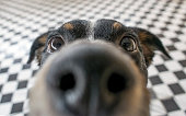 istock Playful dog face, black white and brown, with nose close to the camera lens, focus on face, closeup, with black and white tiled floor background 836716796
