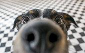遊び心のある犬の顔、ブラック ホワイト、ブラウン、カメラのレンズに近い鼻と顔のクローズ アップを黒と白のタイル張りの床の背景に焦点を当てる