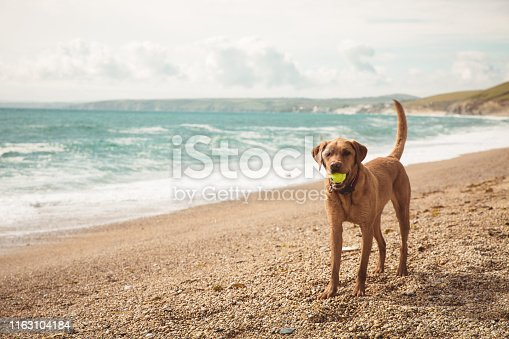 A fit and healthy yellow Labrador retriever dog standing on a beach whilst on Summer vacation and playing with a ball in its mouth with copy space