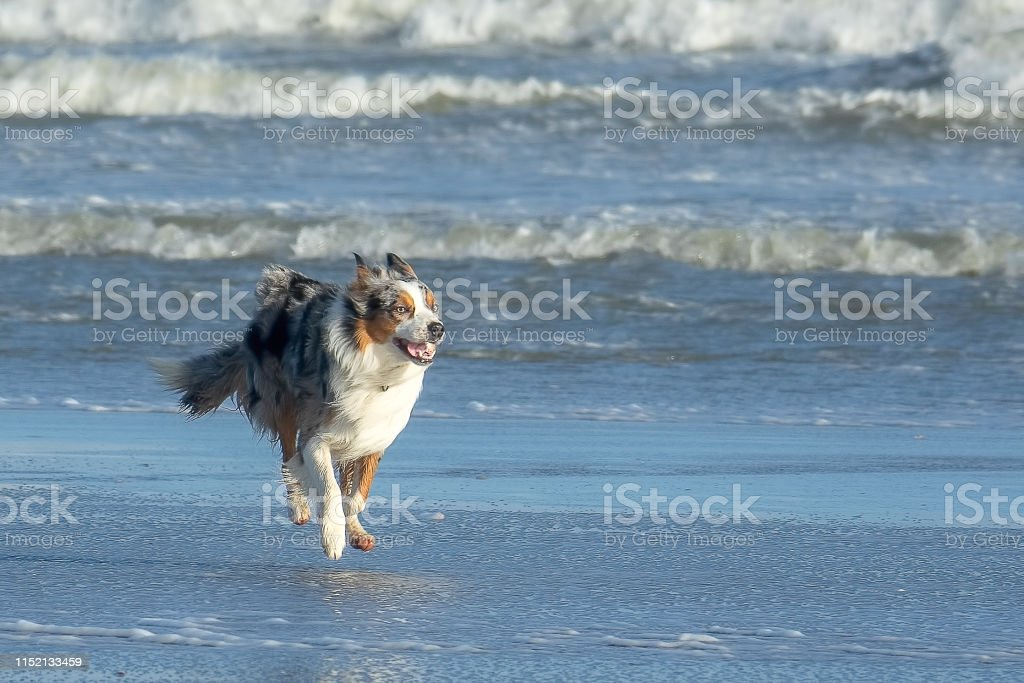 Playful dog running on the beach near the water line. He floating in...