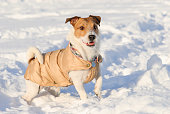 Jack Russell Terrier posing and demonstrating winter apparel