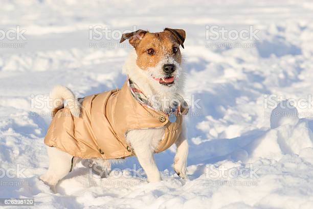 Playful dog wearing warm coat standing on snow picture id626398120?b=1&k=6&m=626398120&s=612x612&h=hrmh gfieug8gjm7rlzx8zmnwlb7qrsq4ot9coldrrg=
