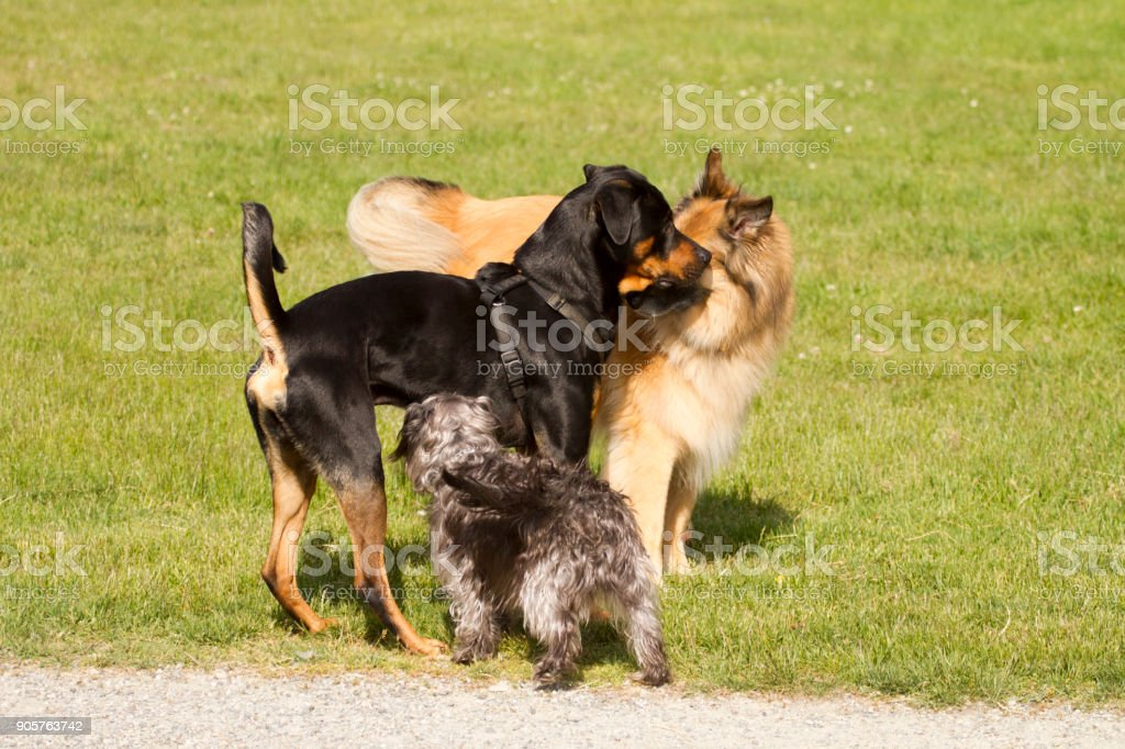 Playful dogs greeting each other stock photo