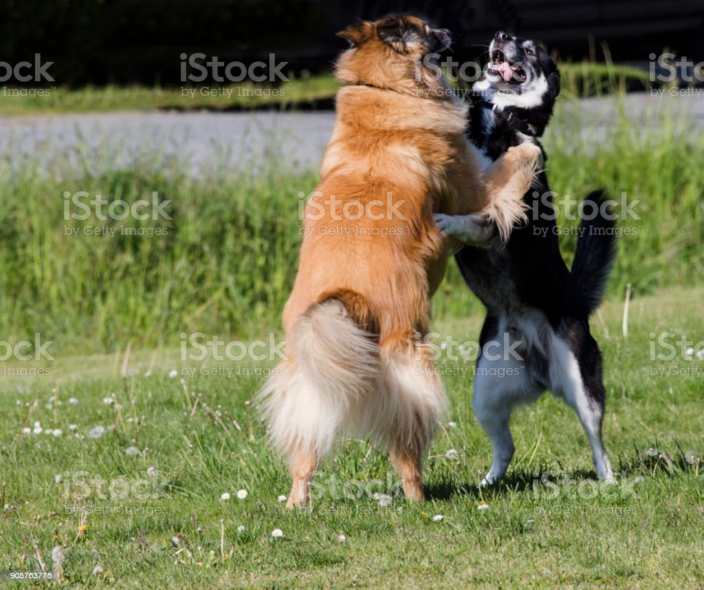 Playful dogs playing stock photo
