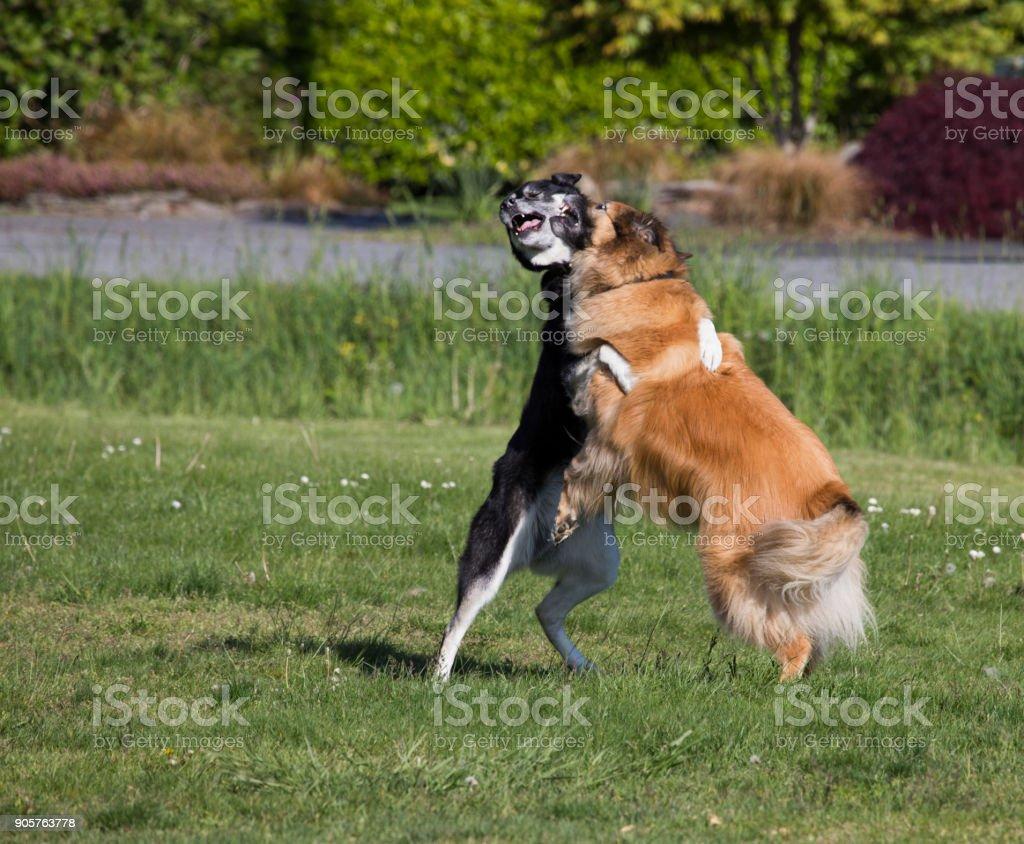 Playful dogs wrestling stock photo