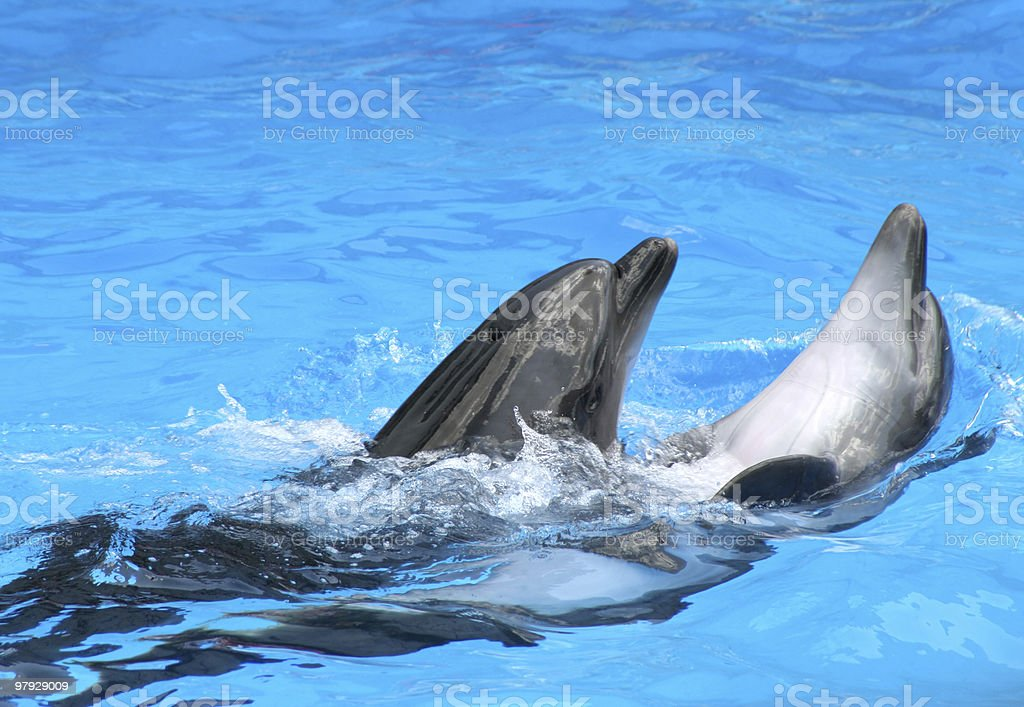 Playful dolphin royalty-free stock photo