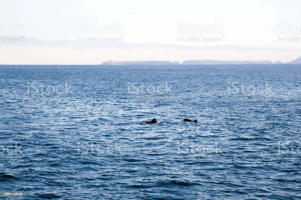 Playful Dolphins near Channels Islands, California stock photo
