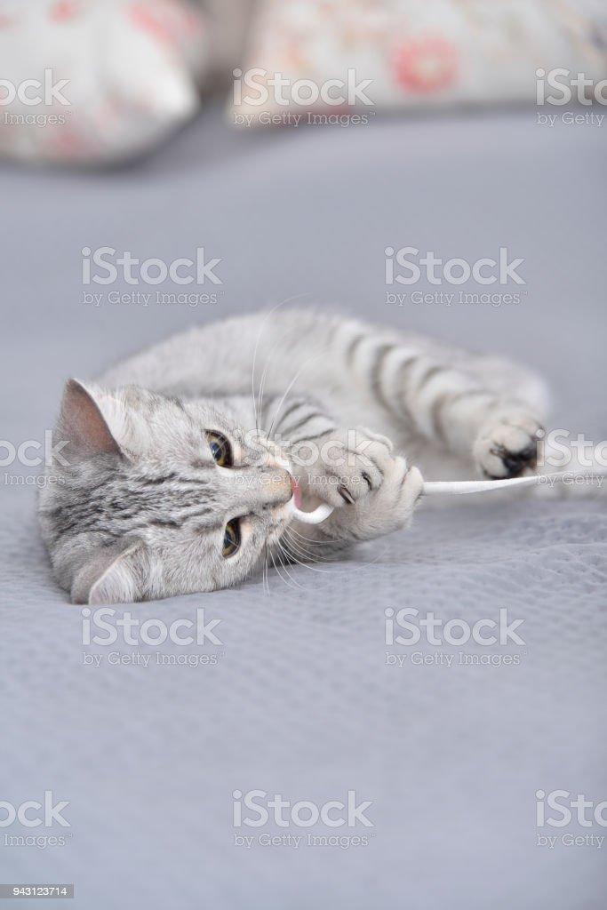 Playful Egyptian Mau cat stock photo