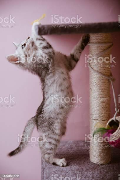 Playful egyptian mau kitten picture id909083772?b=1&k=6&m=909083772&s=612x612&h=emu7ctqfqbhkhveu3ke0vnrgpibk8lnb2ajlvs2bjpi=