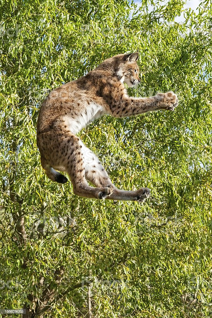 Playful Eurasian Lynx Jumping to Catch Something in Paws stock photo