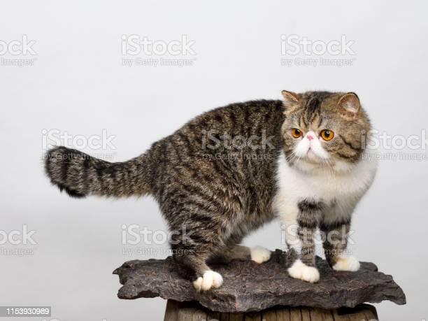 Playful exotic shorthair cat picture id1153930989?b=1&k=6&m=1153930989&s=612x612&h=8pneeta3rdu lwhka1bmct13zyjeflkemyucdwebobi=
