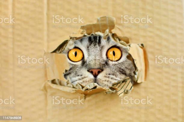 Playful funny pussy cat looking in a hole beautiful background picture id1147948928?b=1&k=6&m=1147948928&s=612x612&h=ggp9cjobiceb8e3twtehx1stqsisebmeo3gkltkekz4=