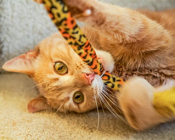 Playful ginger cat biting cat toy picture id465883259?b=1&k=6&m=465883259&s=612x612&w=0&h=at1jozj8lkxfkmtnmmxl9cejqlyjrmnrqpnnr0lbvho=