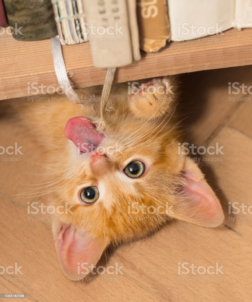 Playful ginger kitten with pink tongue. Domestic cat 8 weeks old. Felis silvestris catus stock photo
