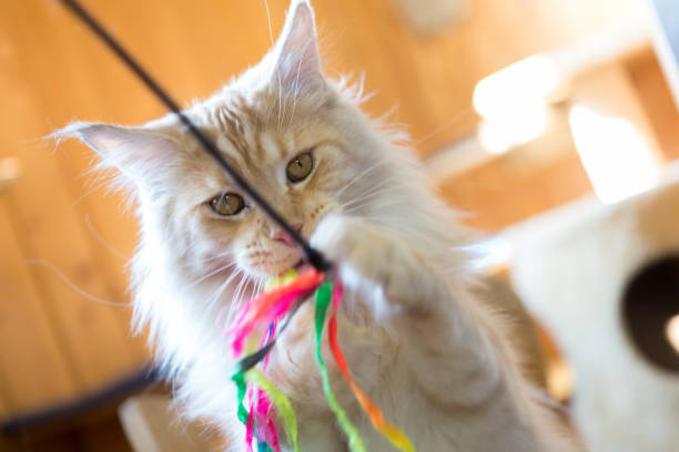 playful ginger purebread cat; play with  toy stock photo