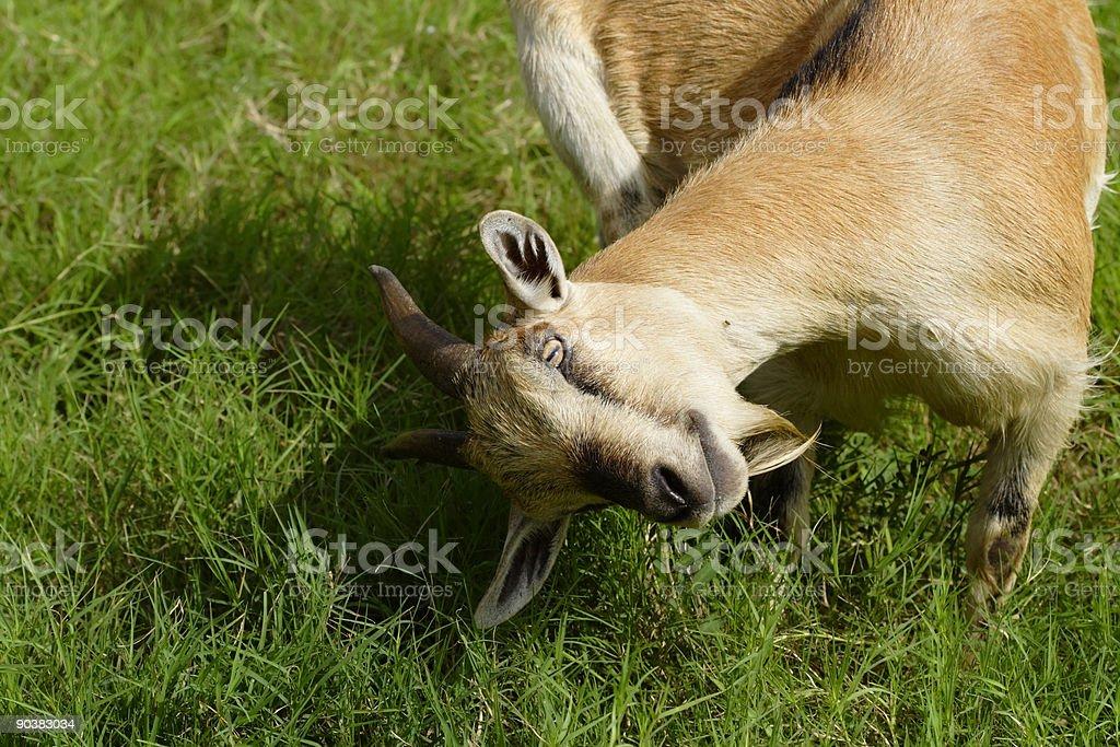 Playful goat stock photo