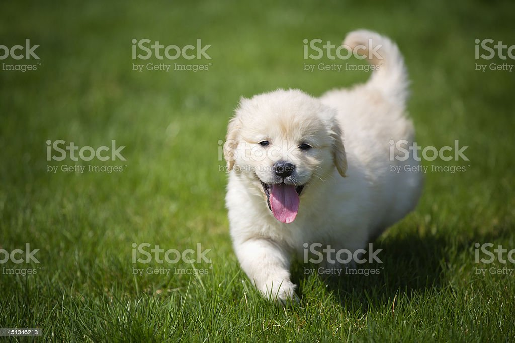 playful golden retriever cream puppy royalty-free stock photo