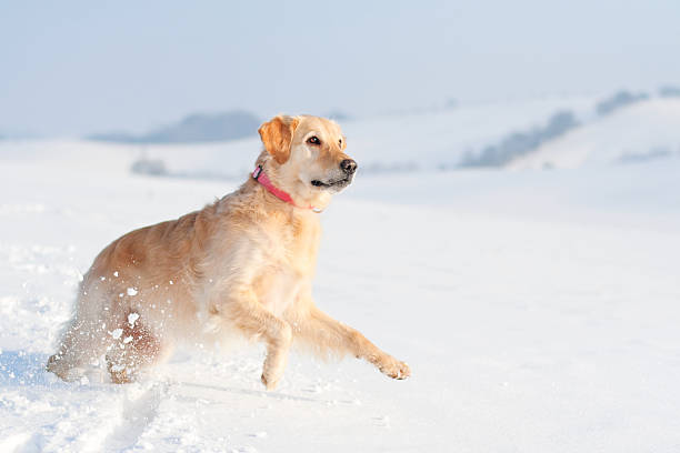 Playful Golden Retriever in the snow stock photo