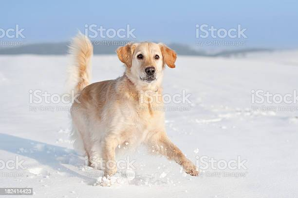 Playful golden retriever in the snow picture id182414423?b=1&k=6&m=182414423&s=612x612&h=qfu7rd2latjc9royygpdw7vncyp3yrvduhn3bqcwzam=