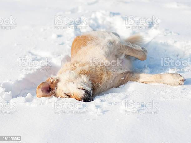 Playful golden retriever in the snow picture id182429550?b=1&k=6&m=182429550&s=612x612&h=st7 ugpsu6r xcmwfazb ylyii3 uz4 mqx1b3iaksc=