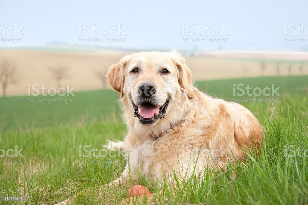 Playful Golden Retriever royalty-free stock photo