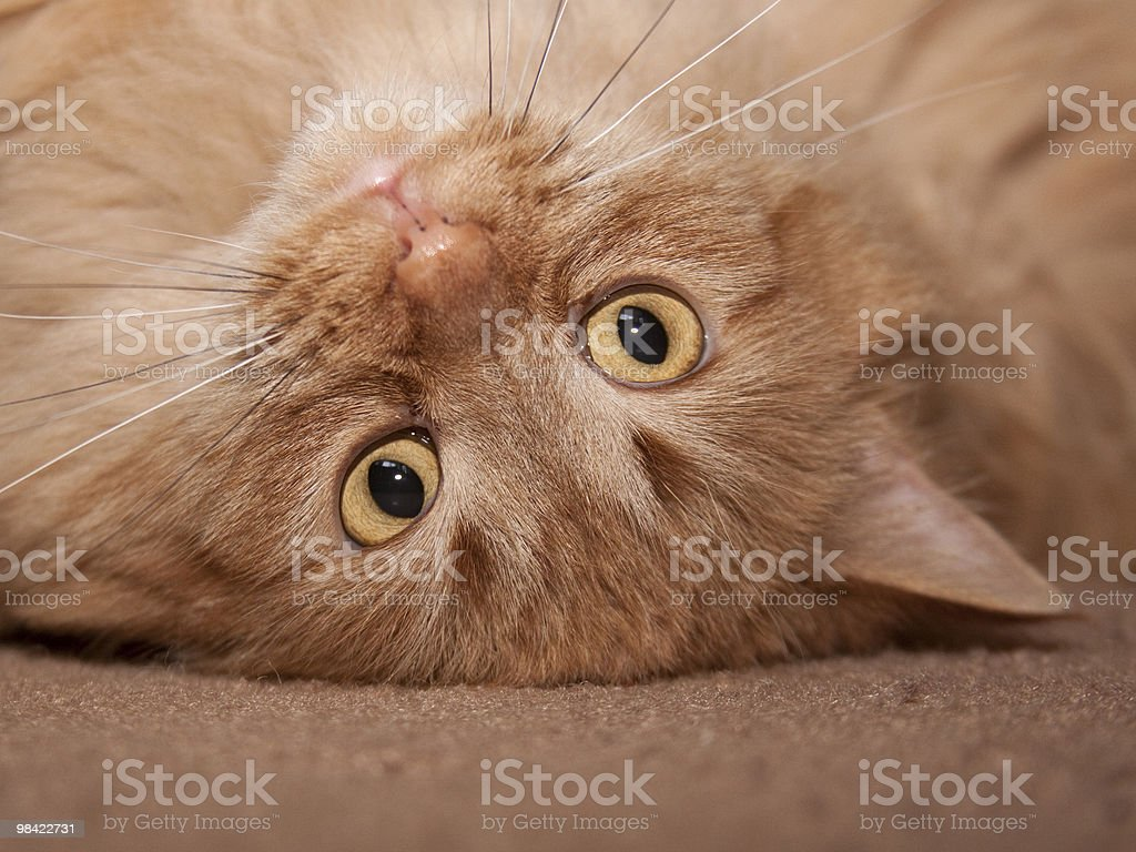 Playful Goldie royalty-free stock photo