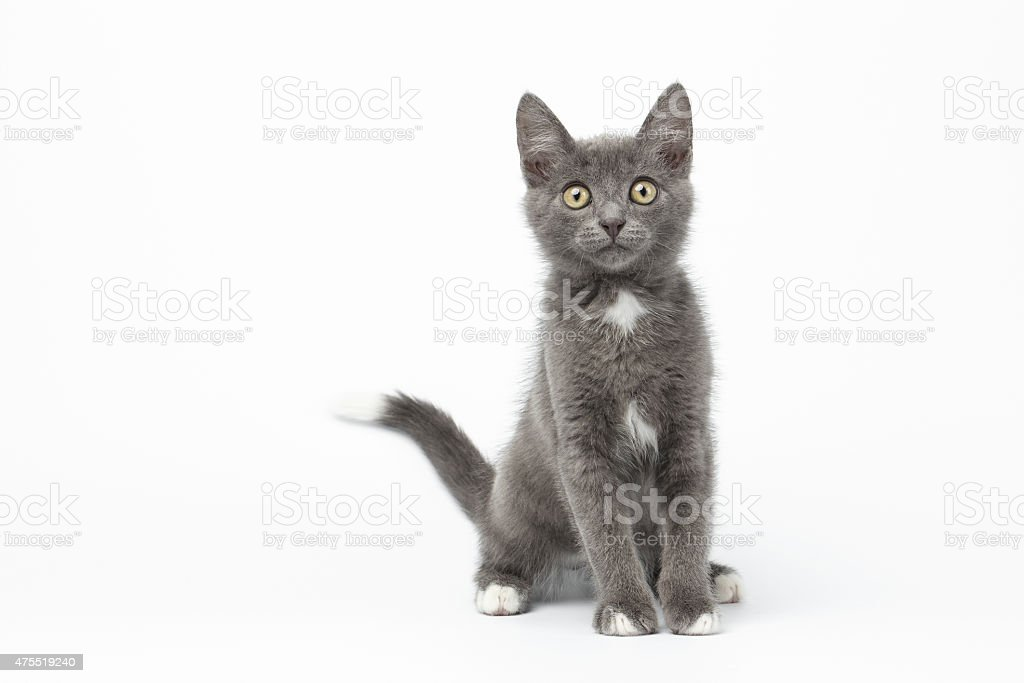 Playful Gray Kitty on White Background stock photo