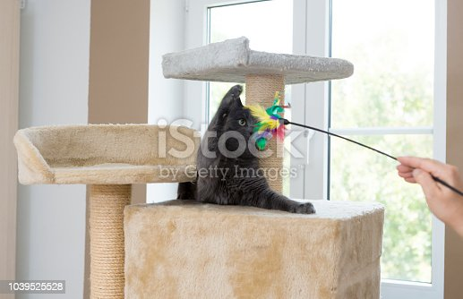 woman holds feather toy to playful gray young cat