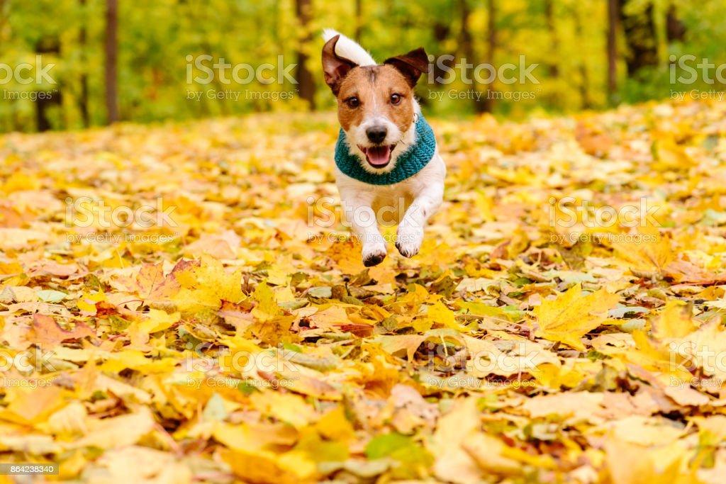 Playful happy dog wearing warm Muffler running at autumn lawn