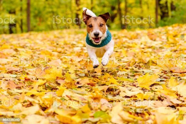 Playful happy dog wearing warm muffler running at autumn lawn picture id864238340?b=1&k=6&m=864238340&s=612x612&h=nb90ot10ln5ayrutzcahb3d ma6p5k zn3mi0mfk2kk=