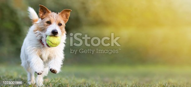 1053642922 istock photo Playful happy pet dog puppy playing with a tennis ball, web banner 1223001986