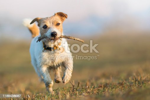 1053642922 istock photo Playful happy running pet dog puppy playing with a stick 1188438687