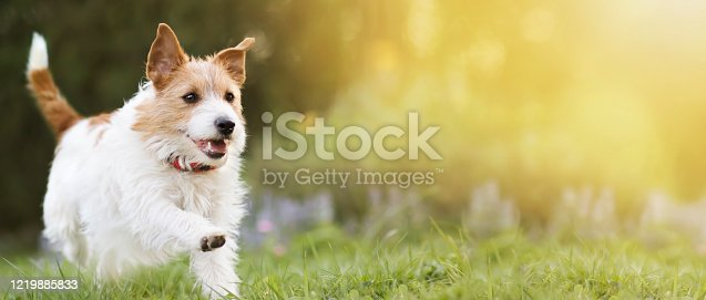 1053642922 istock photo Playful happy smiling pet dog running in the grass and listening with funny ears 1219885833