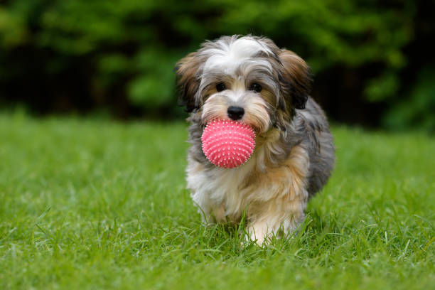 Playful havanese puppy brings a pink ball in the grass picture id687803138?b=1&k=6&m=687803138&s=612x612&w=0&h=uyfcmg2du0ys8foxdxnbuh17b2vflgqj guxssftoqy=