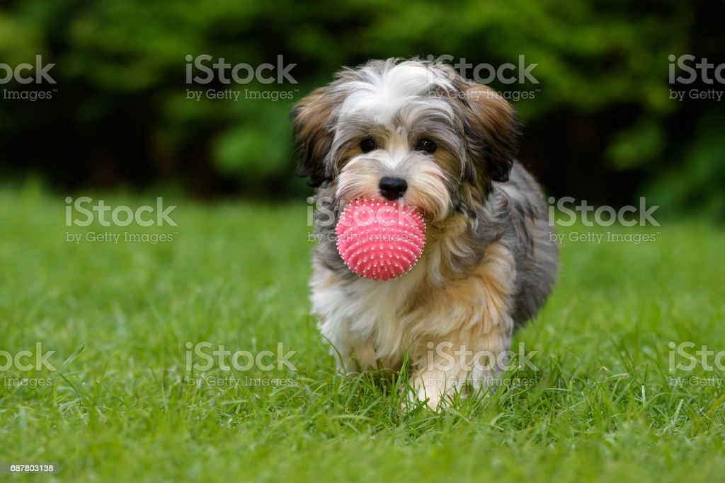 Playful havanese puppy brings a pink ball in the grass stock photo