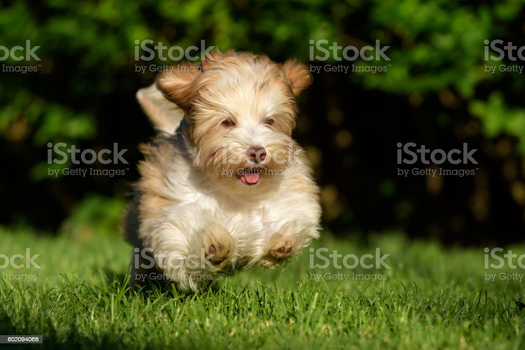 Playful havanese puppy chasing a ball in the grass stock photo