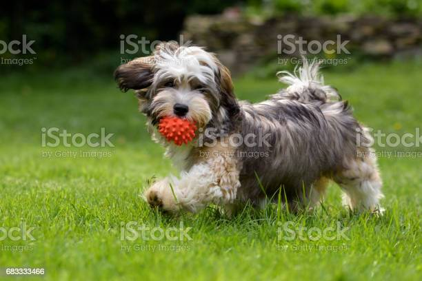 Playful havanese puppy dog walking with a red ball picture id683333466?b=1&k=6&m=683333466&s=612x612&h=9k9qkwskq5g9pyuvg 7uza56xtn8eqszeo w48wea1i=