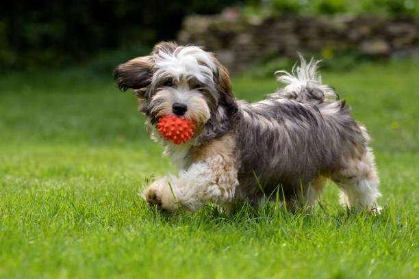 Playful havanese puppy dog walking with a red ball picture id683333466?b=1&k=6&m=683333466&s=612x612&w=0&h=tkvhz ra1ahmqkks2glyd8cjpwbpewl5agdq1xffmxq=