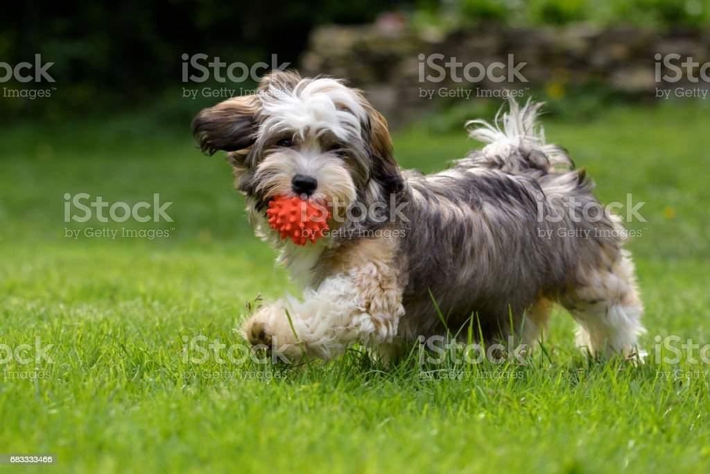 Playful havanese puppy dog walking with a red ball stock photo