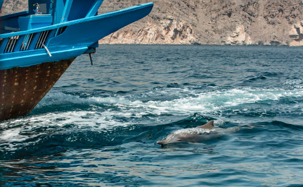 playful humpback dolphins in a coastal waters of Musandam Oman stock photo