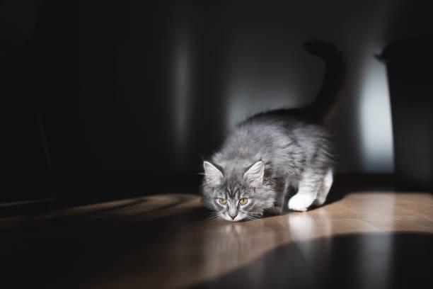 verspielte kätzchen im sonnenlicht - grau getigerte katzen stock-fotos und bilder