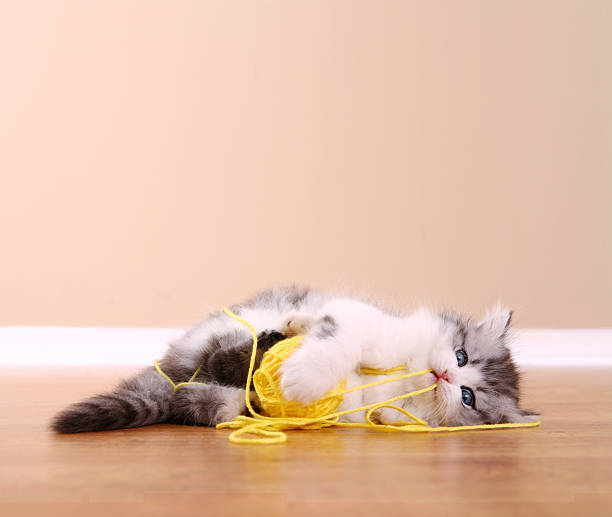 Playful kitten picture id172414051?b=1&k=6&m=172414051&s=612x612&w=0&h=yxfk3duwcwxra4spm3sai vbjcffqmghfovjt9k3voq=