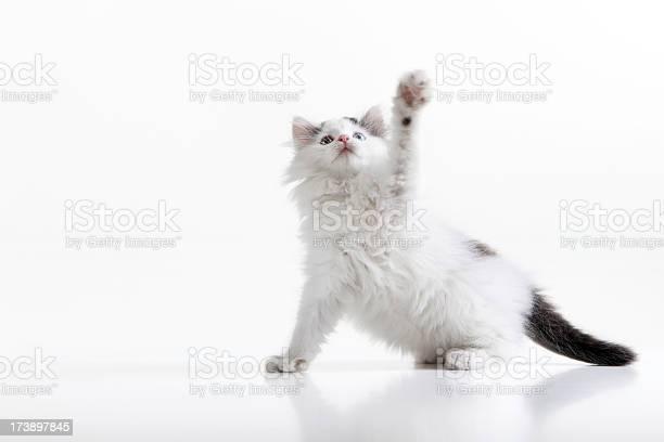 Playful kitten picture id173897845?b=1&k=6&m=173897845&s=612x612&h=e zh3u7558mmrwftw0pzew3mspkut51phty2vu9xmfe=