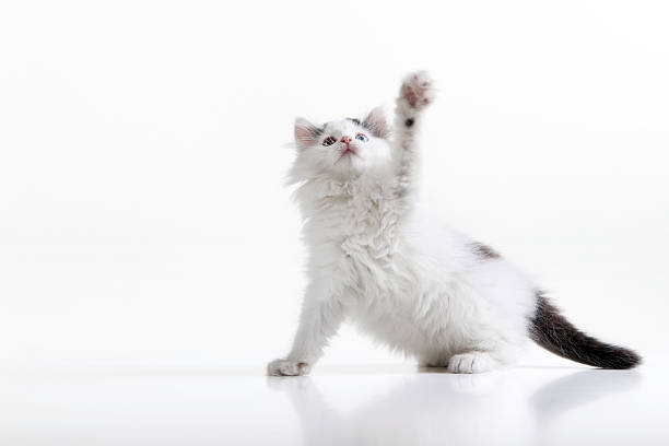 Playful kitten picture id173897845?b=1&k=6&m=173897845&s=612x612&w=0&h=48bkvxo5xrv3tmee15low52vjjsy5nogx7kcwfsnocy=