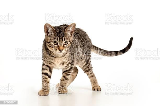 Playful kitten picture id185086601?b=1&k=6&m=185086601&s=612x612&h=gmf8zlewart8a2mzwnekcdvn3nblmawfosbx qcw6r0=