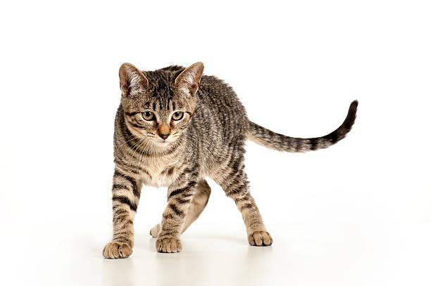 Playful kitten picture id185086601?b=1&k=6&m=185086601&s=612x612&w=0&h=lagkgowihaer5cfu0yckk23czgphd3l8c92faeux3yk=