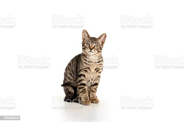 Playful kitten picture id185086604?b=1&k=6&m=185086604&s=612x612&h=rvc4rszrg0sqtdedjbpfybd2khuvuamkrut36cogana=